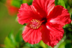 Red Chinese hibisci rosae-sinensis flower Stock Photography