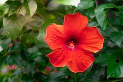 Red Chinese Hibiscus, China rose, Hawaiian hibiscus, rose mallow Stock Photos
