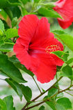 Red Chinese Hibiscus flower Royalty Free Stock Images