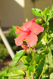 Red Chinese Hibiscus flower Stock Photo