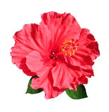 Red Chinese hibiscus. Isolated Royalty Free Stock Photo