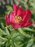Red Chinese peony flower Royalty Free Stock Photography
