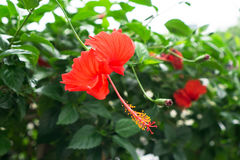 Red Chinese Rose, Shoe flower or a flower of red hibiscus with green leaves, Royalty Free Stock Images