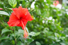 Red Chinese Rose, Shoe flower or a flower of red hibiscus with green leaves, Royalty Free Stock Photography