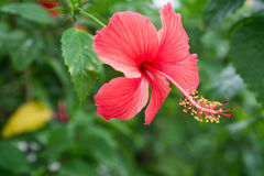 Red Chinese Rose, Shoe flower or a flower of red hibiscus with green leaves, Stock Photo