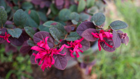 Red Chinese Witch Hazel Stock Images