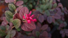 Red Chinese Witch Hazel Royalty Free Stock Photo