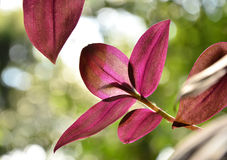Red Chlorophytum  leaves Royalty Free Stock Photography