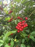 Red choke cherry stock images