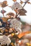 Red Chokeberry flowers Macro Stock Photo
