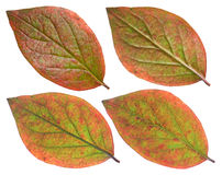 Red Chokeberry leaf Royalty Free Stock Image
