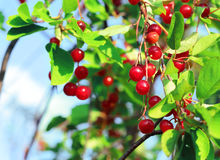 Red chokecherry and green foliage in summer garden. Prunus virginiana stock image