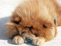 Red chow-chow Royalty Free Stock Images
