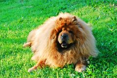 Red chow chow dog on a green grass Stock Photos