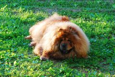 Red chow chow dog on a green grass Royalty Free Stock Image