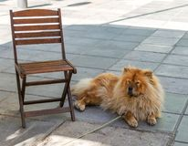 Red chow chow dog dozing in the shadow near the chair. A dog on a leash lying on the floor. Shaggy red chow chow dog dozing in the shadow near the chair. A dog royalty free stock photos