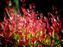 Red Christina Leaves Growing royalty free stock photo