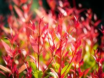 Red Christina Leaves Growing. The Red Christina Leaves Growing in The Garden royalty free stock image