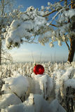 Red Christmas ball in the snow-covered bushes.  Royalty Free Stock Photo