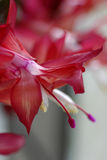 Red Christmas Cactus. Macro of a red Christmas cactus Royalty Free Stock Photo