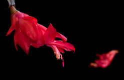 Red Christmas cactus flower Royalty Free Stock Photo