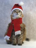 Red Christmas cat Royalty Free Stock Photography