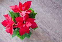 Red christmas flower poinsettia Stock Image