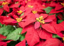 Red christmas flower poinsettia hanging on market in thailand stock images