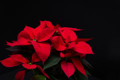 Red Christmas Flower Poinsettia On Black Background Royalty Free Stock Images