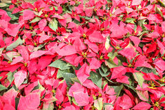 Red christmas flower , Red Poinsettias with green leaves Stock Photo