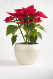 Red christmas flowers. Closeup with beautiful red chirstmas flower Stock Photo