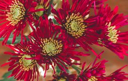Red Christmas flowers royalty free stock image