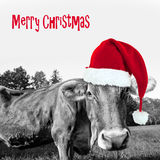 Red Christmas hat on a black and white cow, merry christmas. Greeting card royalty free stock image