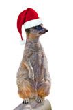 Red Christmas hat on a suricate isolated on white background, fun christmas card. Red Christmas hat on a suricate isolated on white background, fun christmas Royalty Free Stock Photography