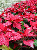 Red christmas leaves. A garden of vibrant red color plants royalty free stock images