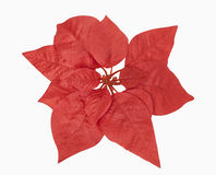 Red Christmas Plant. Includes clipping path Stock Photos