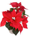 Red christmas poinsettia flower in a ceramic pot Royalty Free Stock Photo