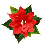 Red Christmas poinsettia flower. Isolated on white stock images