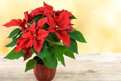 Red Christmas Poinsettia. Flower stand on a wooden table and on the background of yellow blurred lights royalty free stock photography