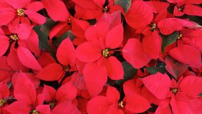 Red Christmas Poinsettia plant in winter of Thailand. Top view of Red Christmas Poinsettia plant in winter of Thailand royalty free stock photography