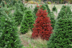Red Christmas Tree Standing out from the crowd stock photography