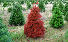 Red Christmas Tree Standing out from the crowd Stock Image