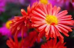 Red chrysanthemum. Are blooming in the autumn,with their background is light red Royalty Free Stock Image