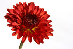 Red Chrysanthemum. With a white background Royalty Free Stock Photo