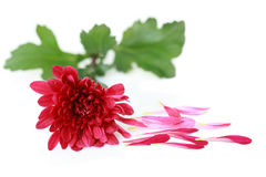 Red Chrysanthemum Stock Images