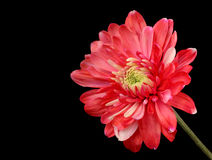 Red Chrysanthemum. Isolated on a black background Stock Photos