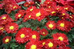 Red chrysanthemum Royalty Free Stock Images