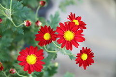 Red chrysanthemum. In early spring Royalty Free Stock Image