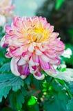 Red chrysanthemum. An  red chrysanthemum flower Stock Photos