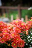 Red Chrysanthemum Royalty Free Stock Photos
